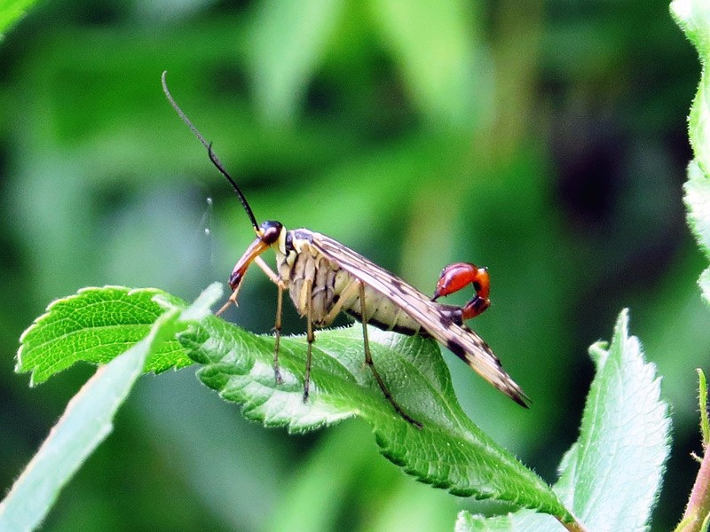 Other-WL-scorpion-fly-lgl