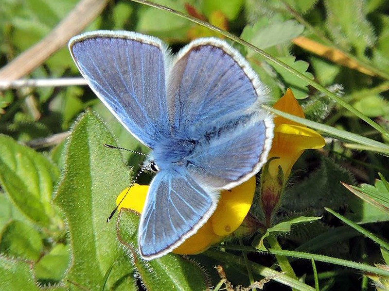 BFLY-common-blue-m-ge