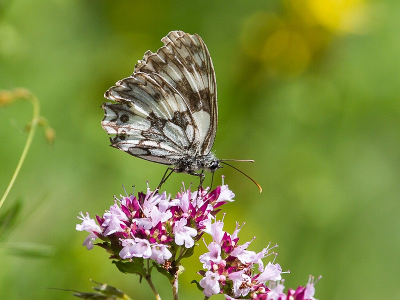 BFLY-marbled-white-tj