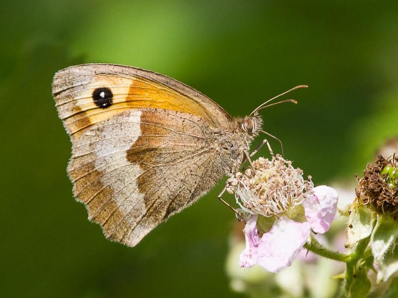 BFLY-meadow-brown-tj (1)