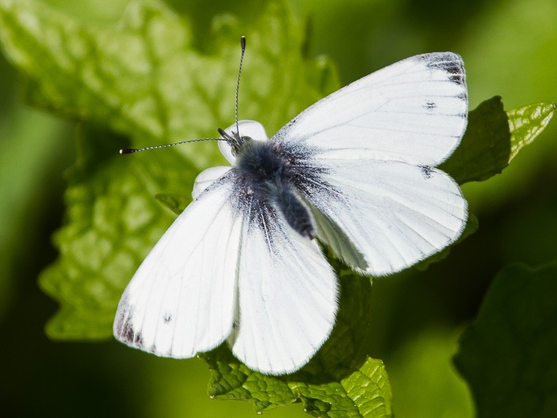 BFLY-small-white-tj