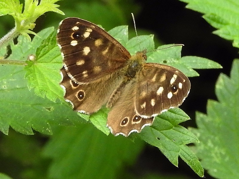 BFLY-speckled-wood-lgl