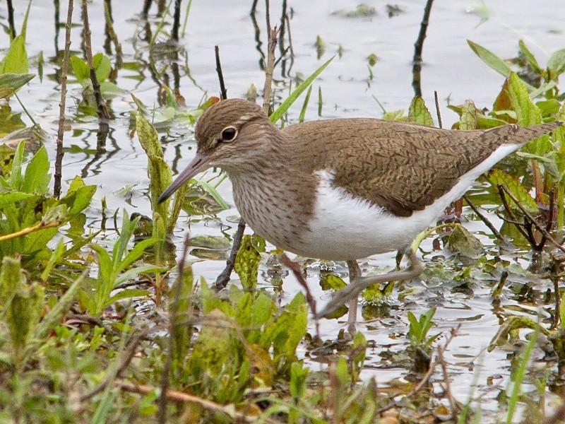 Bird Common Sandpiper TH