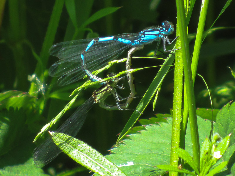 DFLY Common Blue Damselflies mating TJ
