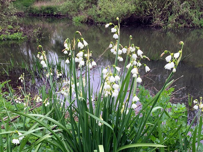 Flora-Loddon-Lily