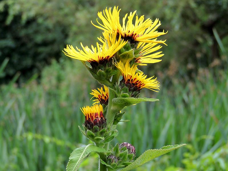 Flora-elecampane(innula-nel
