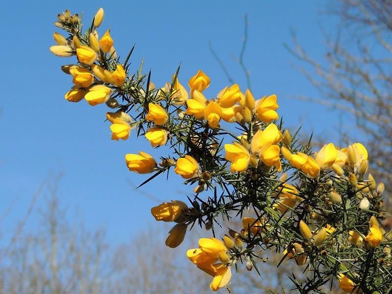 Flora-gorse-rm