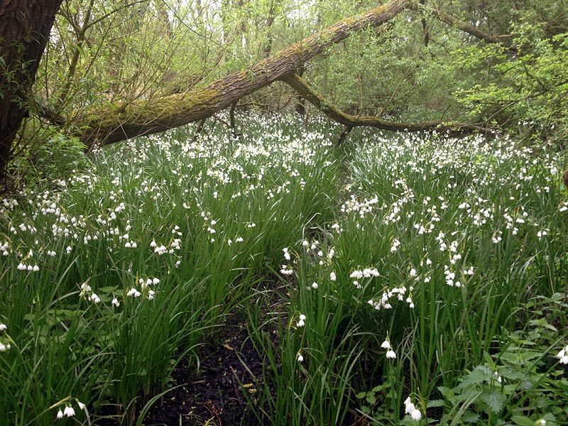 Flora-loddon-lilies-fjc