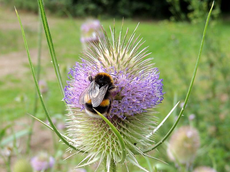 Flora-teasel-bee-rm
