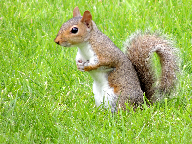 Other-WL-grey-squirrel-rm