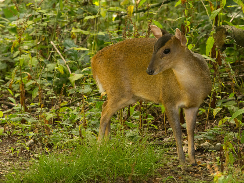 OtherWL-muntjac-sd