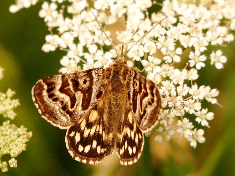 mother-shipton-moth1