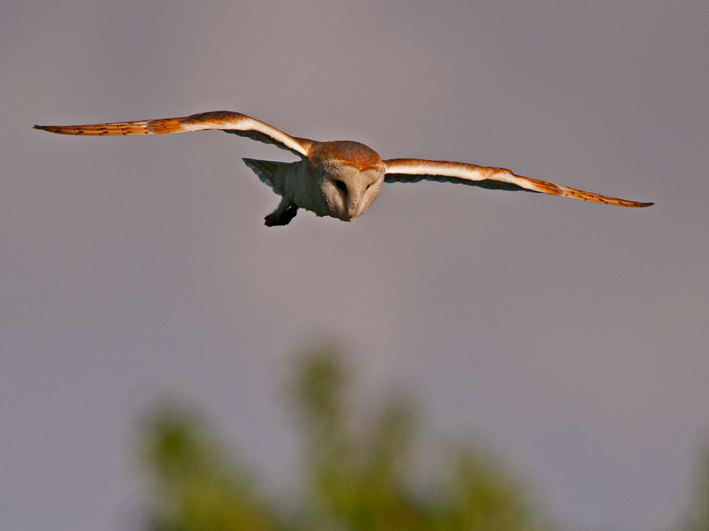 Birds-barn-owl-flight-mr