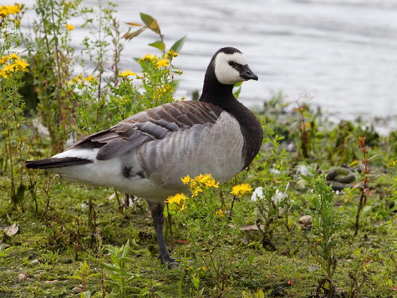 Birds-barnacle-goose-th