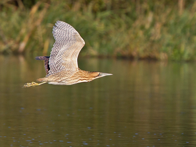 Birds-bittern-flight-th