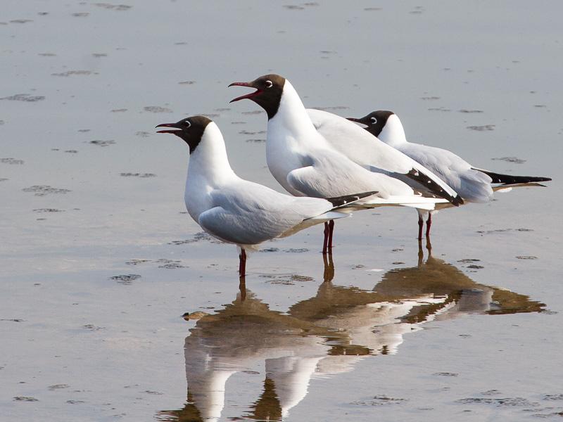 Birds-black-headed-gull-tj