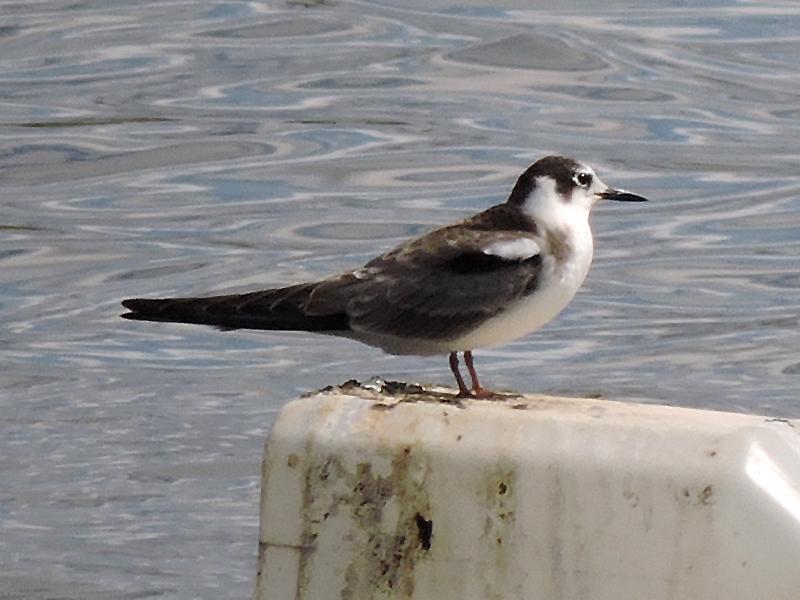 Birds-black-tern-juv-gse