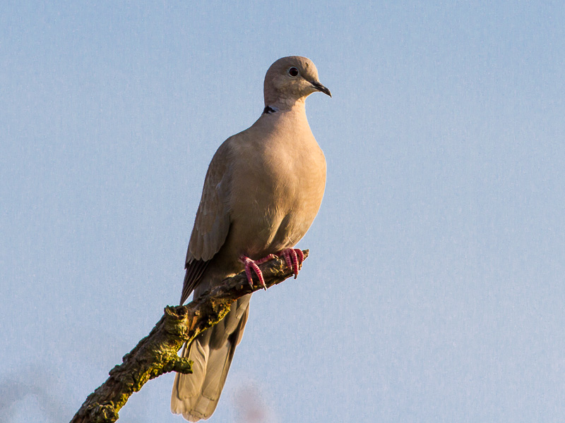 Birds-collared-dove-tj