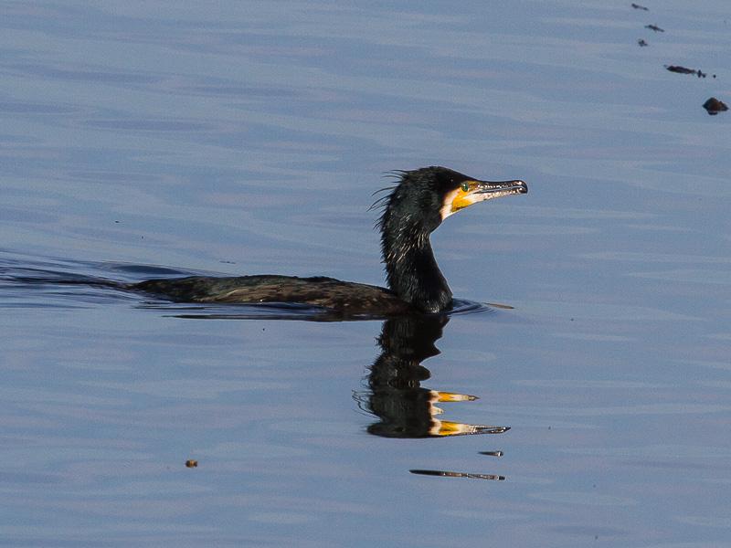 Birds-cormorant-tj