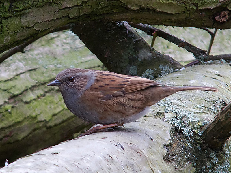 Birds-dunnock-th