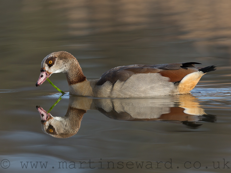 Birds-egyptian-goose-ms