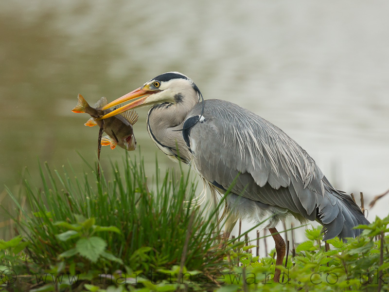 Birds- grey-heron-ms