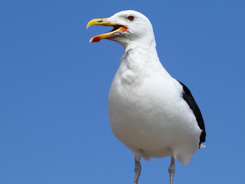 Birds-gt-bb-gull-tj1