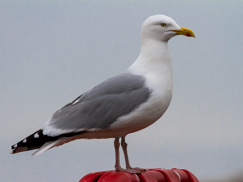 Birds-herring-gull-tj