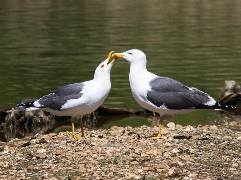 Birds-lbb-gull-tj