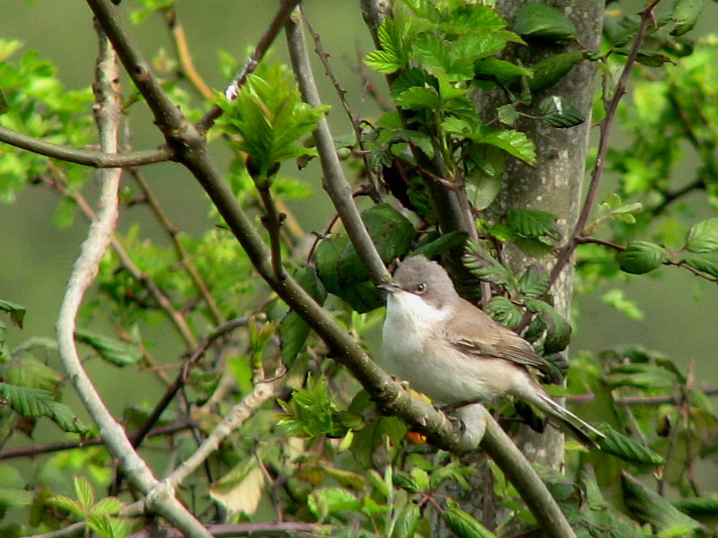 Birds-lesser-whitethroat-rr