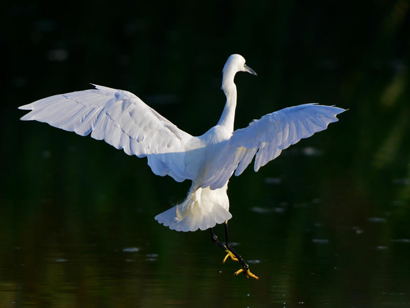 Birds-little-egret-flight-mr