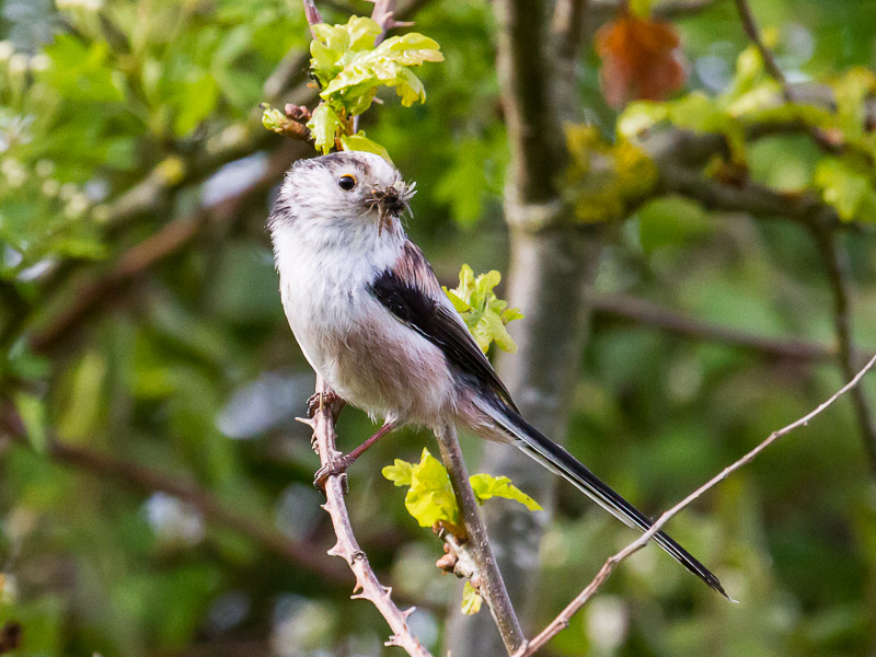 Birds-long-tailed -tit-tj
