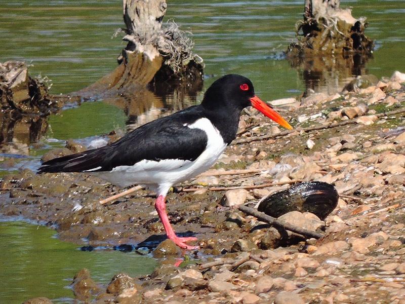 Birds-oystercatcher-gse