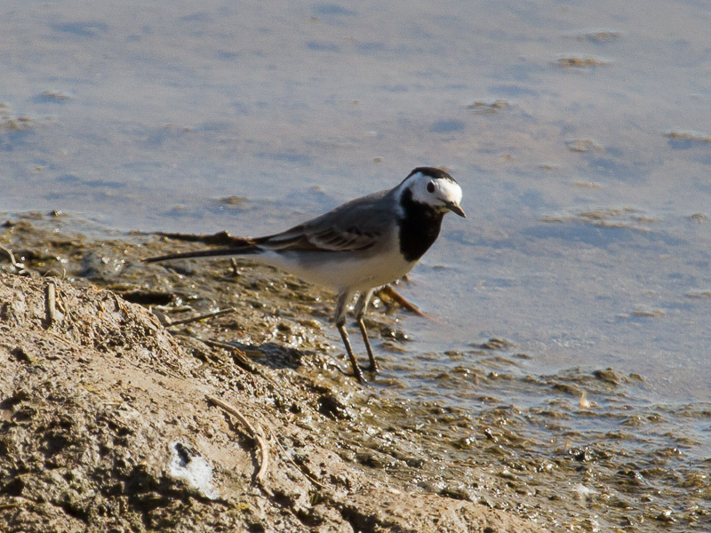 Birds-pied-wagtail-tj