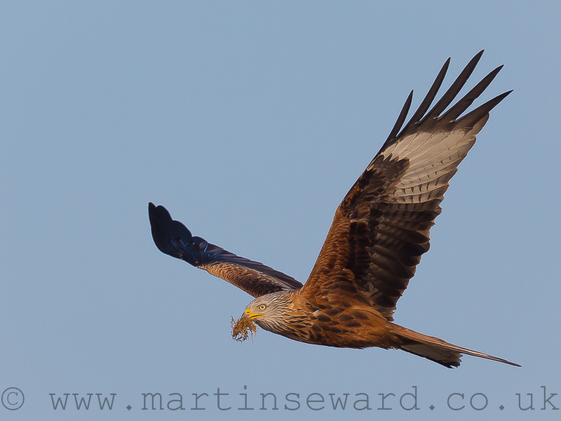 Birds-red-kite-ms