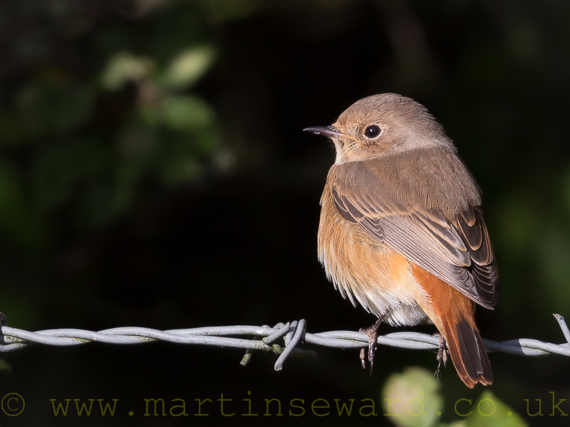 Birds-redstart-ms