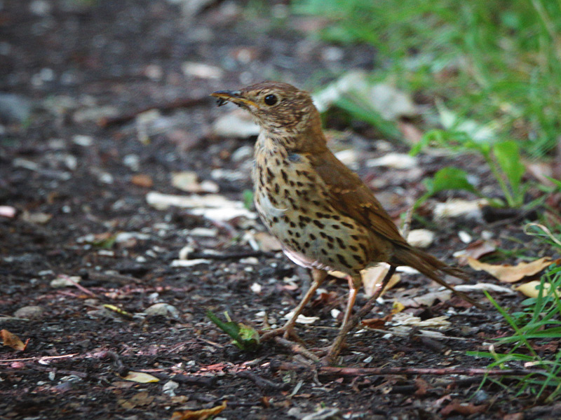 Birds-song-thrush-ar