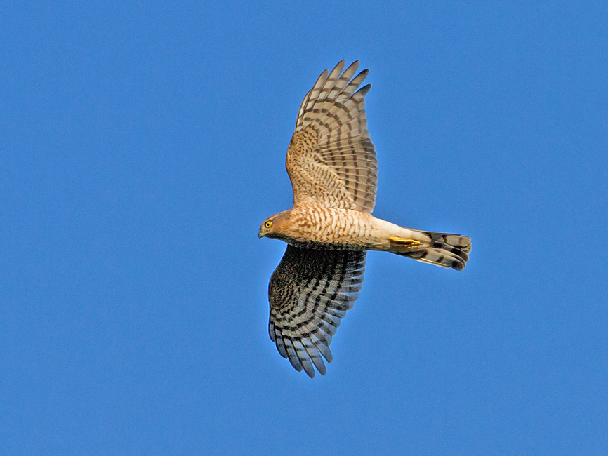 Birds-sparrowhawk-th
