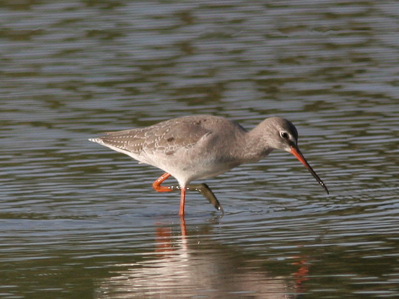 Birds-spotshank-mw