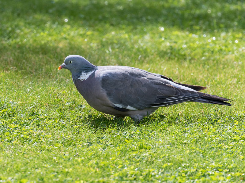Birds-wood-pigeon-tj