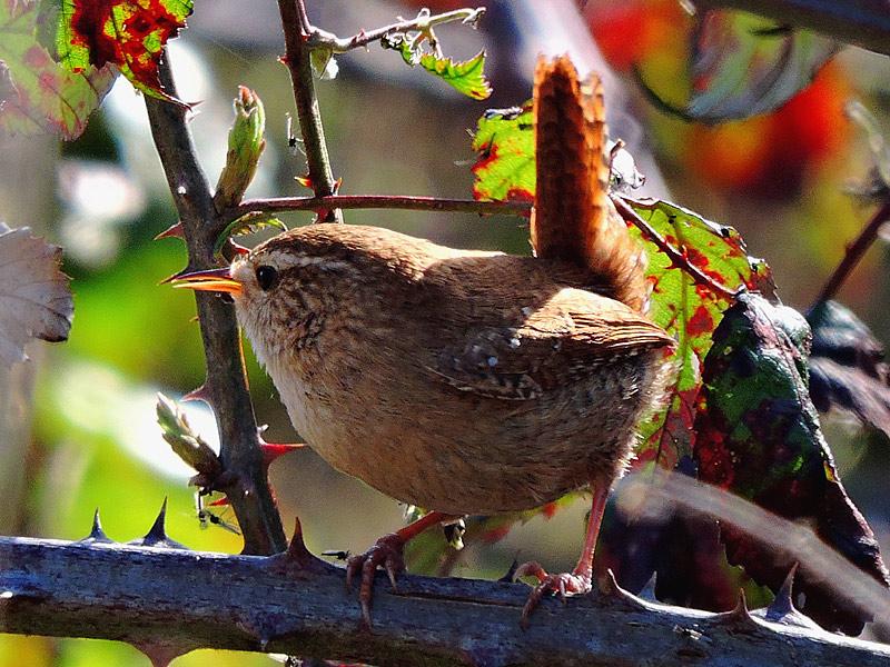 Birds-wren-gse