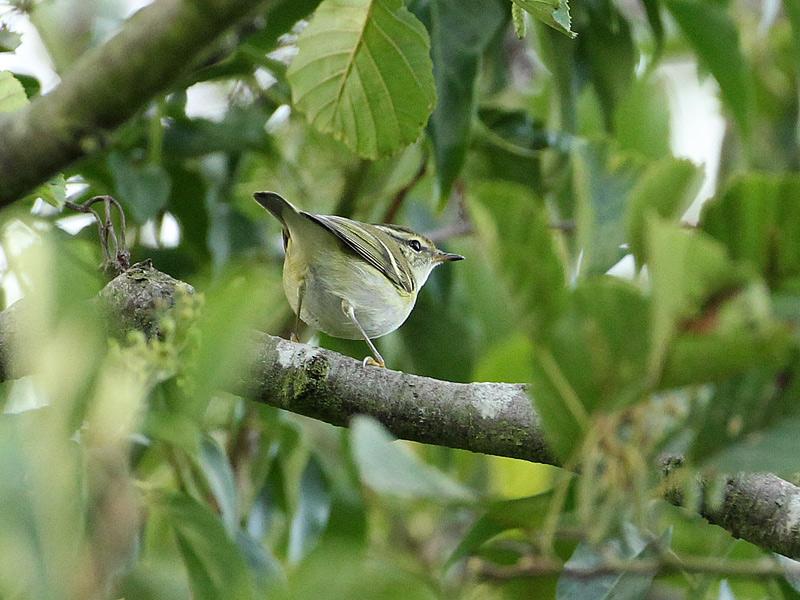 Birds-yellbrow-warbler-dr